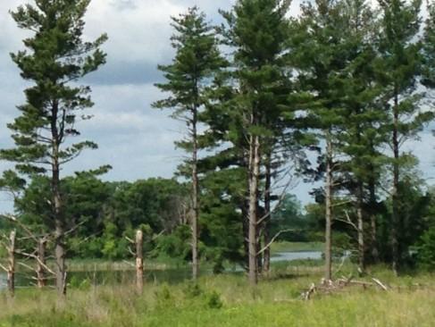 IMG_1665_pine trees