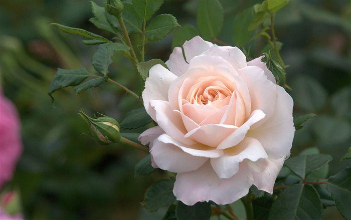 rose-wallpaper-1920x1200-00795_high